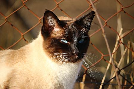 猫, シャム猫, サイアム, シャム, mieze 型, 猫の品種, 猫の肖像画