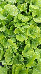 Rosy, Leaf, Zelená, kvapky vody, Príroda, drop, zelené listy