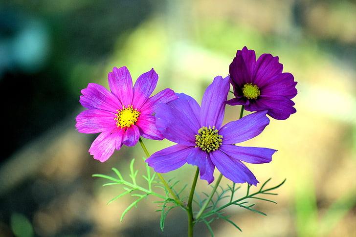 cosmea, flowers, nature, blue, colors, purple, pink