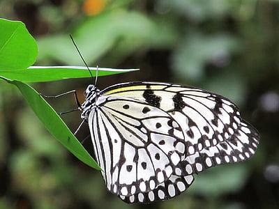 vlinder, vlieger papier, macro, insect, natuur, vleugels, kleurrijke