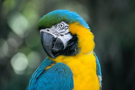 ѕопугай ара сине желтый