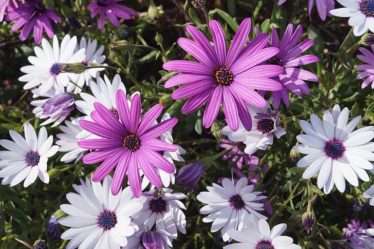 cosmos, flor, violeta, blanc, porpra, primavera, jardí
