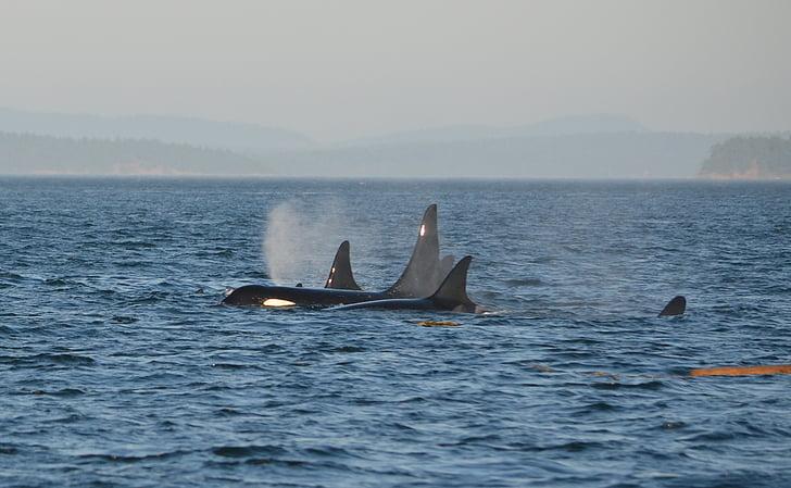 Orca, Pod, spekkhogger, hav, svømme, Marine, sjøen