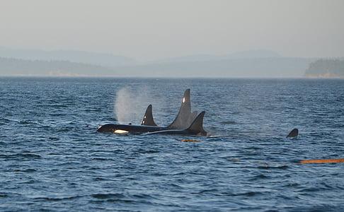 orca, pod, ปลาวาฬเพชณฆาต, โอเชี่ยน, ว่ายน้ำ, มารีน, ทะเล