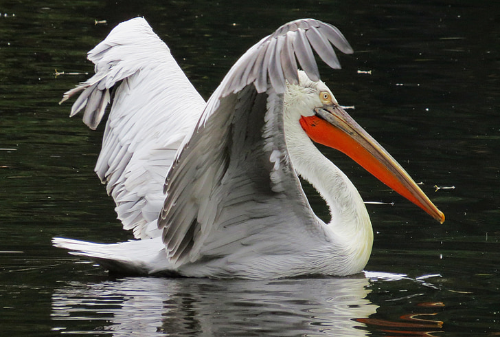 Pelikan, uccello, uccello acquatico, animali