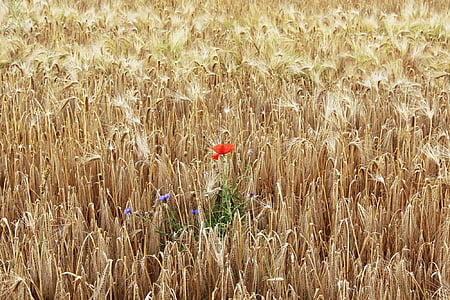 poppy, cornfield, field, cereals, red, summer, nature