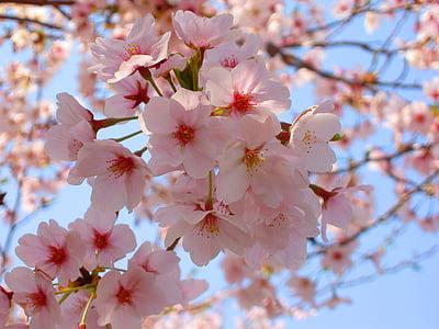 cirera, cirerer, primavera, Rosa, flors, natural, planta