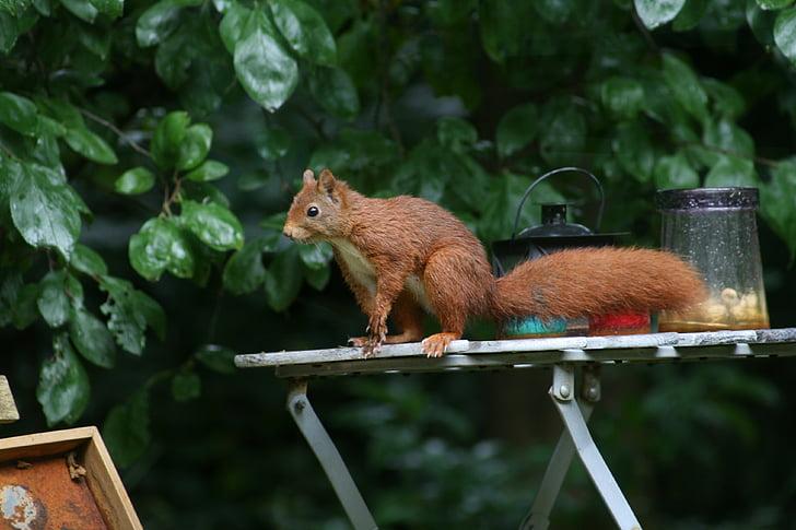 vjeverica, šuma, priroda, glodavci, drvo, životinja, biljni i životinjski svijet