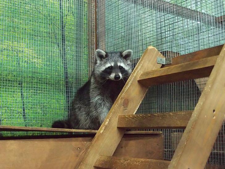 zoo, petting zoo, animals, mini zoo, raccoon, raccoons, mammal