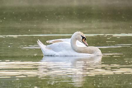 swan, mute swan, bird, water bird, nature, animal, lake