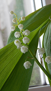 lily of the valley, white flowers, spring, flower, bloom, beautiful, macro photography