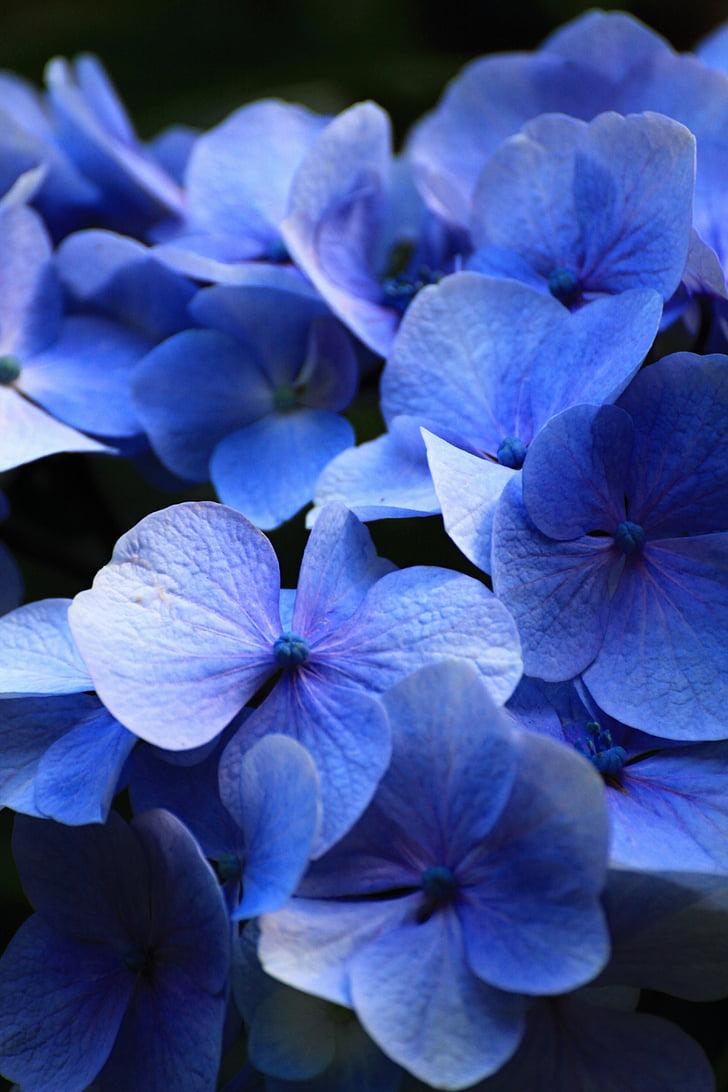 hermosa, azul, flores, Hortensia, confort, aroma