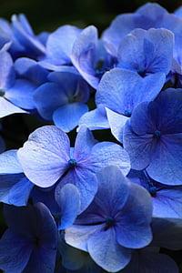 Kaunis, sinine, lilled, Hortensia, Comfort, aroom