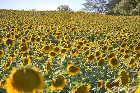 sunflower field, sunflower, yellow, flower, nature, agriculture, field