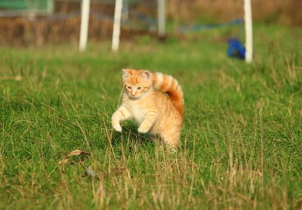 cat, kitten, cat baby, red mackerel tabby, meadow, autumn, young cat