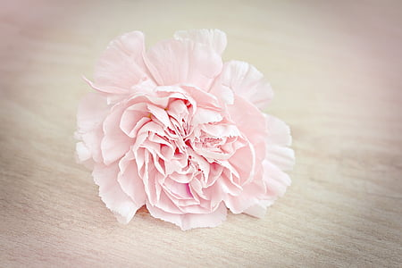 flor, Clavell, flor, flor, pètals, Rosa, Clavell Rosa