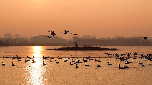пейзаж, зимни, утринното слънце, изгрев, птици, лебеди, езеро