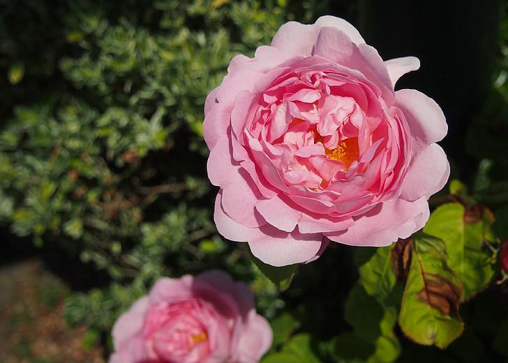 Rosa, Rosa, planta, flor, Roses, bonica, fragància