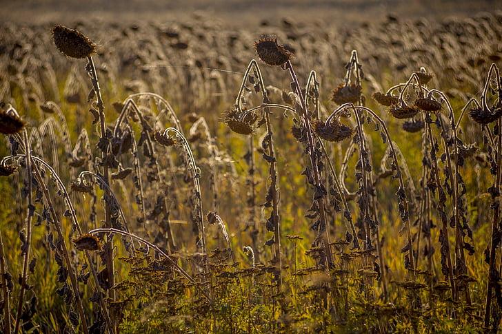 поле, Подсолнухи, Семена подсолнечника, растения, Природа, Лето, желтый