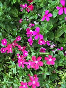 vinca, bunga-bunga liar, Magenta, rumput, bunga, merah muda, ditsy