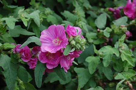 Blossom, Bloom, hibiszkusz, virág, rózsaszín, növény, mályva