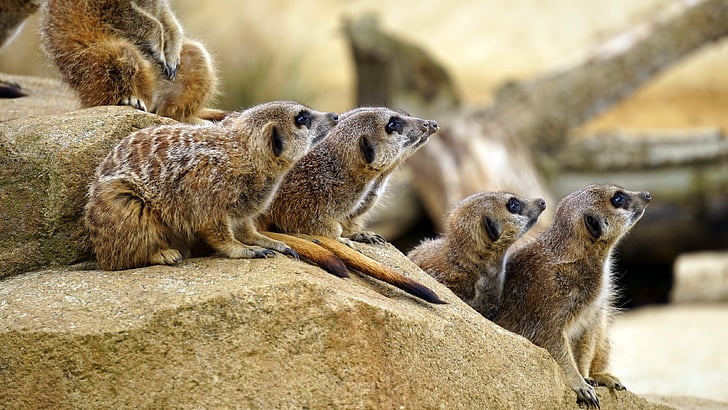 animals, mammals, meerkats, wild animals, zoo, meerkat, animal