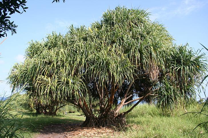 arbre, tropical, Hawaii, tròpic, illa, verd, bonica
