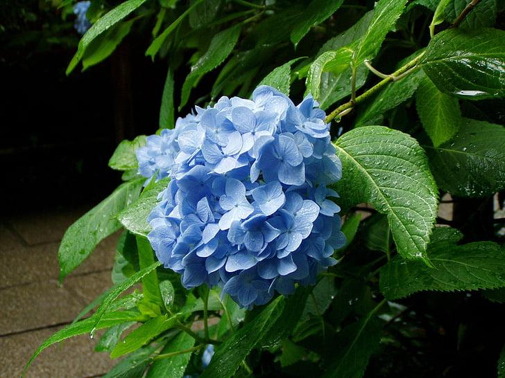 Hortenzia, virágok, esős évszak, Kamakura