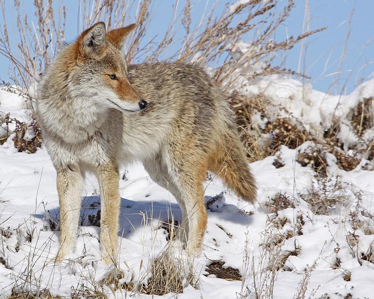 coyote, snow, winter, wildlife, nature, predator, outdoors