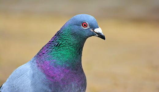 Dove, vták, perie, vtáky, mesto holub, Ulica nepočujúcich, holubica a holuby