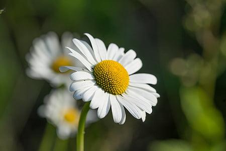 margarite, flower, plant, macro, daisy, nature, summer