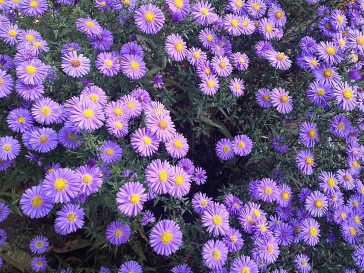 jardí, flors violetes, flors, planta, violeta, flors, flor