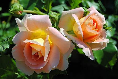 玫瑰, 玫瑰绽放, 开花, 绽放, 玫瑰绽放, 双颜色, 香味