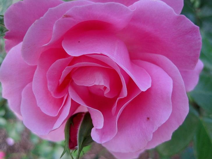Rosa, Rosa profund, obrir, flor, brot, pètals, suau