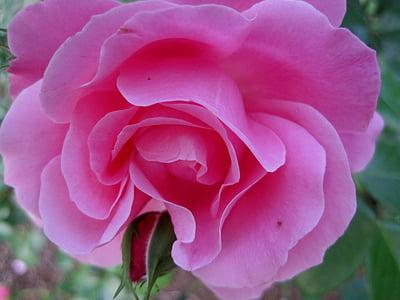 ruže, Deep pink, Otvorte, kvet, bud, lístkov, mäkké