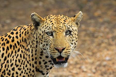 leopard, animals, cheetah, muzzle, head, animal, jaguar