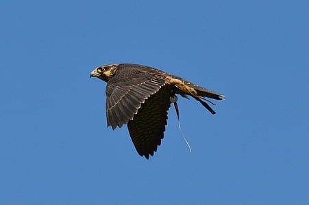 falcon, wildpark poing, flight, fly, raptor, wild animal, feather