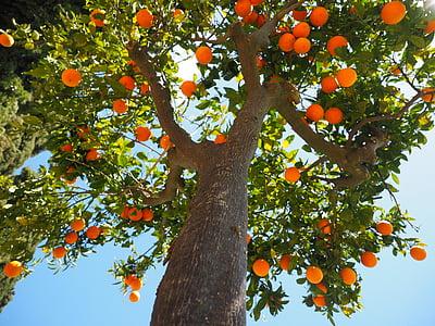 oranges, Journal, tribu, tronc d'arbre orange, fruits, oranger, orange
