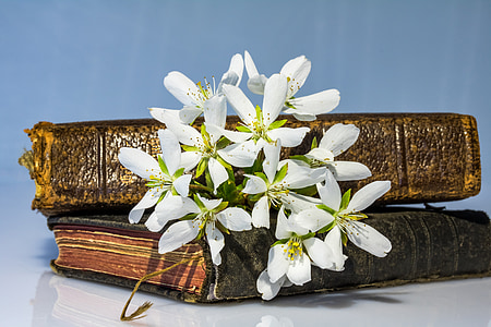 ornamental cherry, dwarf cherry, kuril cherry, white flowers, books lying, old books, past