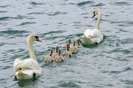 swans, family, swan, water, white, bird, young