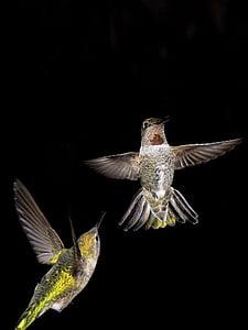 Colibrì, notte, uccello, animali, di volo, svolazzanti, un animale