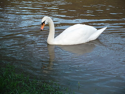 swan, water bird, pride, swim, animal, lake, elegant
