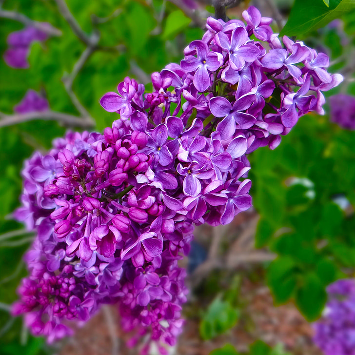 lilacs, spring, purple, springtime, blossom, garden