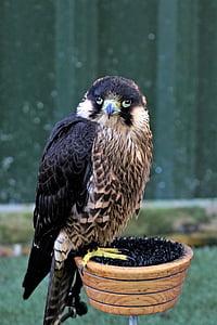 Muuttohaukka, Falcon, lintu, Raptor, Predator, metsästys, saalis