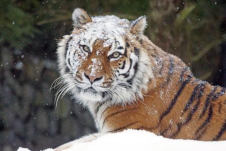 amurtiger, big cat, cat, predator, dangerous, tiger, snow