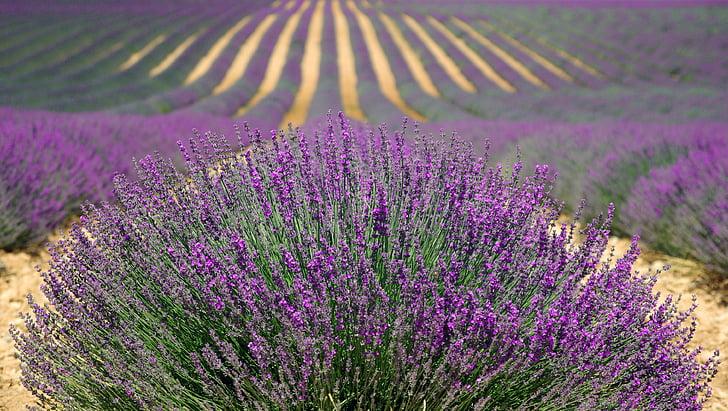 levanduľa, levanduľa pole, francúzske levandule, fialová, pole, kvet, Príroda