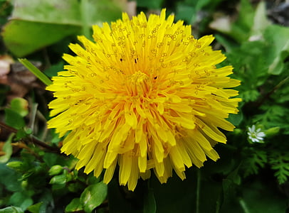 Regrat, Dandelion cvet, cvet, cvet, rumenimi cvetovi, rumena, rastlin