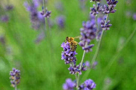 Lavanda, pčela, kukac, ljubičasta, prava Lavanda, Lavandula, biljka
