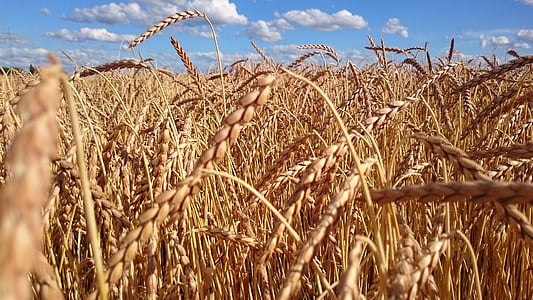 wheat, field, cereals, grain, wheat field, agriculture, ear