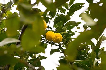 レモン, レモンの木, フルーツ, ツリーのフルーツ, リモーネ, サワー, バイオ